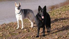 Zwei große Hunde, die auf der Bank von einem See in England stehen Lizenzfreie Stockbilder