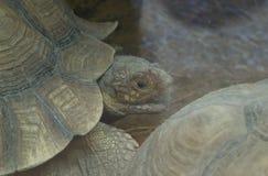 Zwei große Landschildkröten Lizenzfreie Stockbilder