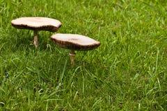 Zwei große Pilze lizenzfreie stockfotos
