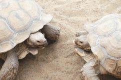 Zwei große Schildkröten in der Decksaison stockbilder