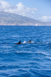 Zwei Große Tümmler vor Küste von Sao Miguel, Azoren lizenzfreies stockbild