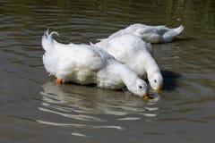 Zwei große weiße Enten Aylesbury Pekin mit Kopf unter dem Oberflächenplantschen und dem Suchen nach Nahrung stockbild