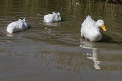 Zwei große weiße Enten Aylesbury Pekin mit Kopf unter Oberflächense stockfotografie