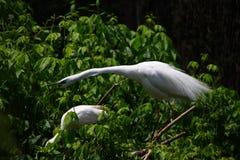 Zwei große weiße Reiher, Ardea alba, auf den Niederlassungen Stockbild