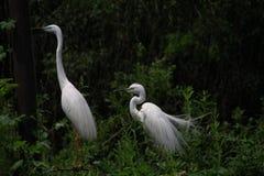 Zwei große weiße Reiher, Ardea alba, auf den Niederlassungen Lizenzfreies Stockbild