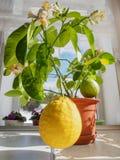 Zwei große Zitronen auf einem kleinen eingemachten Baum Stockbild