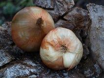 Zwei große Zwiebeln Lizenzfreie Stockfotografie