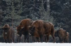 Zwei großer wilder Brown Bison Wisent Go Along At Winter Forest Couple European Aurochs Bison, Bison Bonasus Walk Among The Tre stockfotos