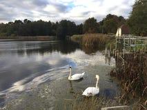 Zwei Höckerschwäne auf einem See in der englischen Landschaft stockfotos