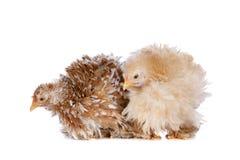 Zwei Hühner Stockfotos