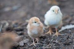Zwei Hühner lizenzfreie stockfotografie