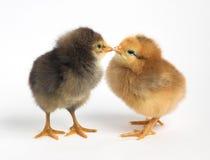 Zwei Hühner Stockfotografie