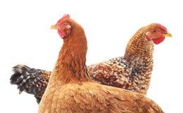 Zwei Hühner lizenzfreie stockfotos