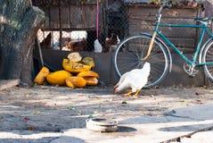 Zwei Hühner, die Korn im Dorfyard picken Lizenzfreie Stockbilder