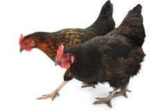 Zwei Hühner getrennt auf Weiß Lizenzfreies Stockbild