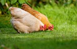 Zwei Hühner im grünen Gras Stockfotos