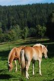 Zwei haflinger Pferde Lizenzfreie Stockfotos