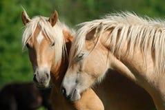 Zwei haflinger Pferde stockfotos