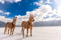 Zwei Haflinger-Pferde auf der Winterwiese und Bergspitzen auf Hintergrund stockbilder