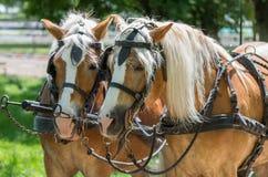 Zwei Haflinger-Pferde bereit zum Wagen stockbilder
