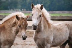 Zwei Haflinger Ponyfohlen Stockbild
