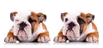 Zwei Haltungen einer sehr netten englischen Bulldogge lizenzfreie stockbilder