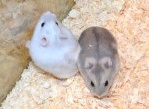 Zwei Hamster Stockbilder