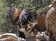 Zwei Harris Hawks Birds Fighting On Baum Lizenzfreie Stockfotografie