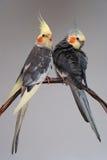 Zwei Haustiervögel Cockatiel stockbild