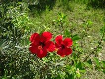 Zwei hell, roter Hibiscus auf einem grünen Hintergrund Stockbild