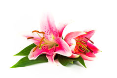 Zwei helle Lilien Lizenzfreie Stockfotos