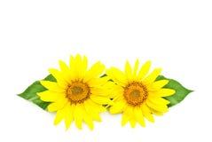 Zwei helle Sonnenblumen Lizenzfreie Stockfotos