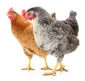 Zwei Hennen Stockfoto