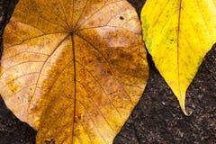 Zwei Herbstlaub auf einem dunklen Hintergrund Lizenzfreie Stockfotografie