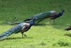 Zwei herrliche Pfaus mit vielen Farben in der Natur Stockbilder