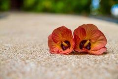 Zwei Hibiscusblumen auf dem Strand stockbilder