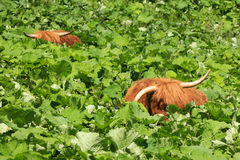 Zwei Hochlandvieh, das in der tiefen Vegetation sich entspannt und sich versteckt lizenzfreie stockfotos