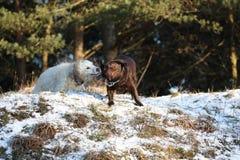 Zwei Hunde Stockfotografie