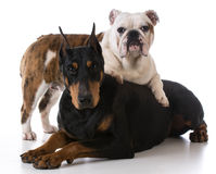 Zwei Hunde Stockbilder