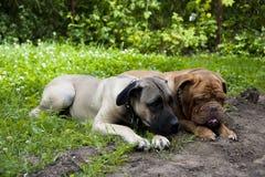 Zwei Hunde auf dem Gras Stockfoto