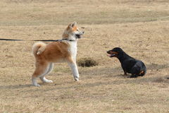 Zwei Hunde auf dem Rasen Stockfotografie