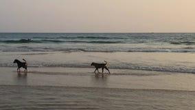 Zwei Hunde auf dem Strand am Sonnenuntergang stock video footage