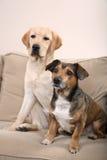 Zwei Hunde auf einer Couch Lizenzfreie Stockbilder