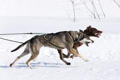 Zwei Hunde auf Schnee Lizenzfreies Stockbild