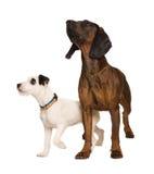 Zwei Hunde auf weißem Hintergrund Stockfotografie