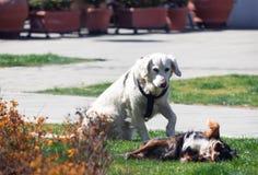 Zwei Hunde, bemannt die besten Freunde und genießt jedes andere Firma stockfotos