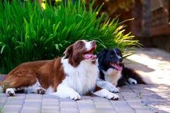 Zwei Hunde Border collie stockfotografie