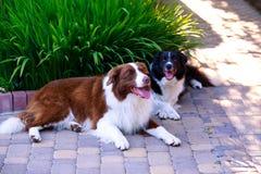 Zwei Hunde Border collie lizenzfreie stockfotografie