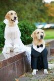 Zwei Hunde der goldenen Apportierhunde in der Kleidung Stockfotografie