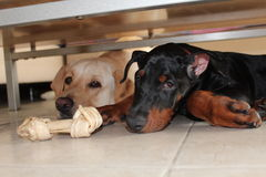 Zwei Hunde in der Liebe Lizenzfreie Stockbilder